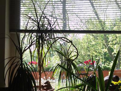 dracaena drachenbaum gartenelfe. Black Bedroom Furniture Sets. Home Design Ideas