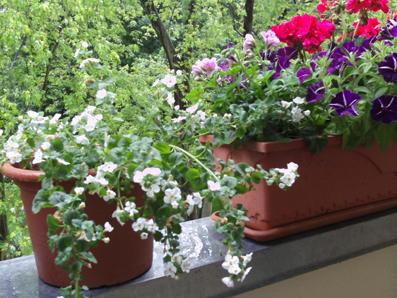 sonnige balkonpflanzen gartenelfe. Black Bedroom Furniture Sets. Home Design Ideas