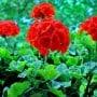 Balkon, Balkonpflanzen, Geranien, Schneeflockenblume