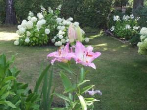 Gladiole, Baumlilie, Hortensie 059