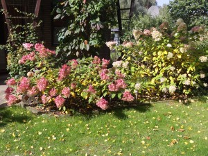 Hortensie, Herbstaster, Geranie 014