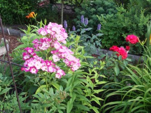 Baumlilie, Taglilie, Rose, Blaunessel 038