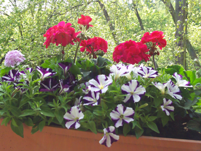 Balkonpflanzen Geranien Und Petunien Gartenelfe