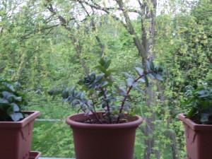 Balkon gestalten, Balkonpflanzen 045
