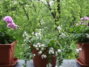 Deko, Balkonbepflanzung 011