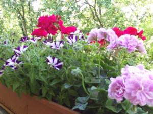 Balkonpflanzen Geranien und Petunien 029