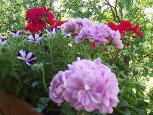Balkonpflanzen Geranien und Petunien 030