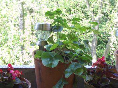 Geranien Die Balkonpflanzen Gartenelfe