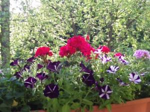 Balkonpflanzen Geranien und Petunien 039