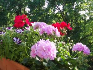 Balkonpflanzen Geranien und Petunien 040