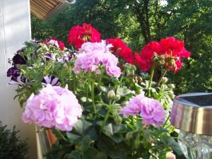 Balkonpflanzen Geranien und Petunien 041