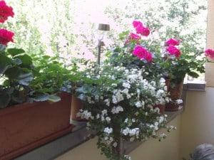 Balkon gestalten, Balkon, Geranien, Schneeflockenblume, Sommer